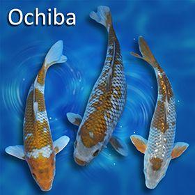 Blackwater Creek Koi Farms Inc Online Store Pick 7 Standard Fin Variety Free Shipping Koi Fish Pond Koi Koi Fish