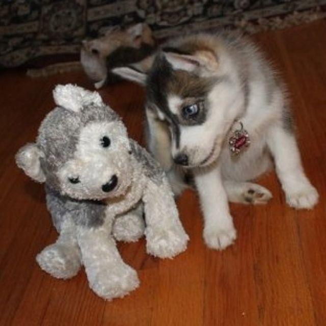 Lol Adorable Husky Pup Pal Siberianhusky L Love Huskies