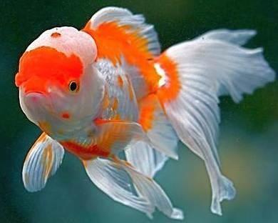 Beautiful Oranda Goldfish Goldfish Types Goldfish Oranda Goldfish