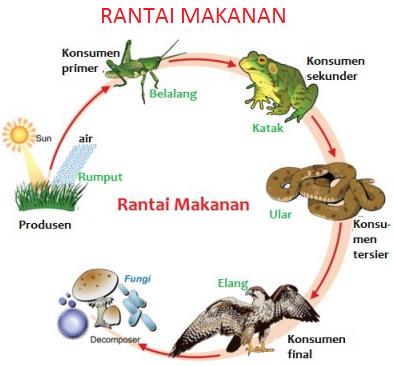 rantai makanan Rantai makanan, Makanan, Ekosistem