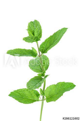 Stock Image: fresh mint leaves isolated on white background