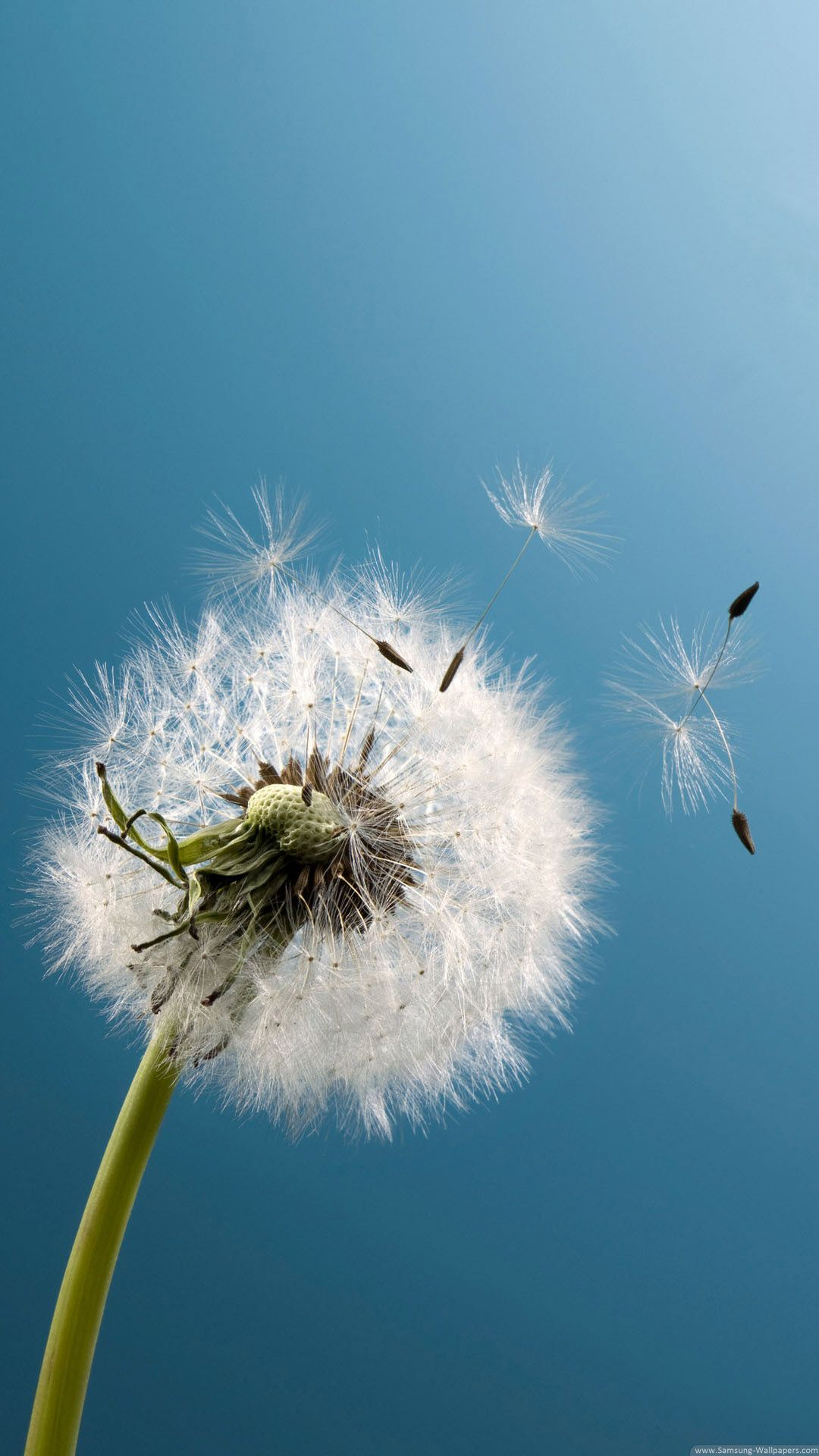 dandelion live wallpaper apk for iphone download android apk