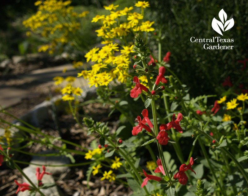 Lovely Red Texas Betony Attracts Hummingbirds Golden Groundsel Brings On Bees And Butterfli Plants That Attract Butterflies Garden How To Attract Hummingbirds