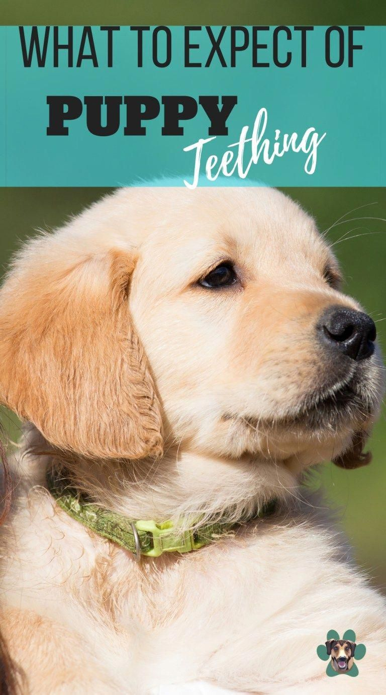 When Will My Puppy Start And Stop Teething Puppy Teething Dog Teeth Dog Training