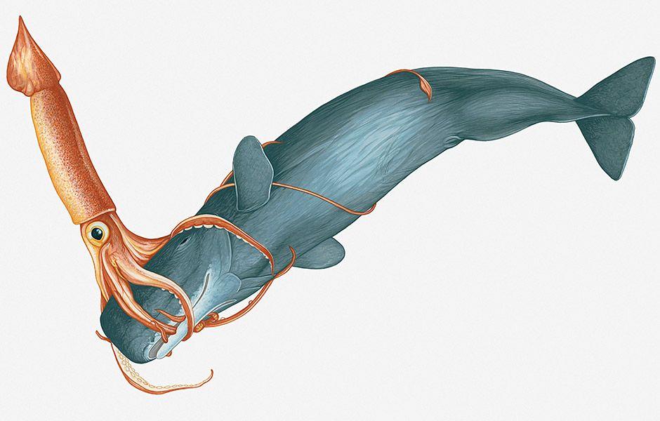Im Tierreich Ist Der Hintergrund Für Zweikämpfe Natürlich Ernster Und Oft Ein Kampf Ums überleben Zwei Ungewöhnliche Gegner Sind Der Riesenkalmar Pottwal Wal