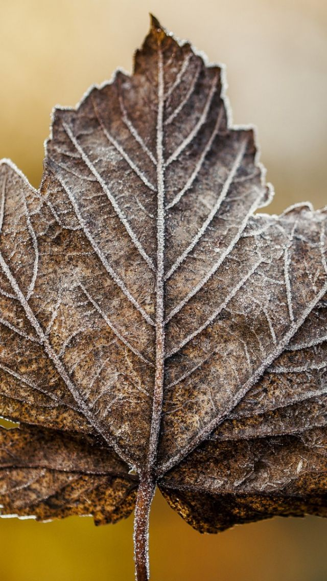 640x1136 Wallpaper leaf, maple, dry, frost