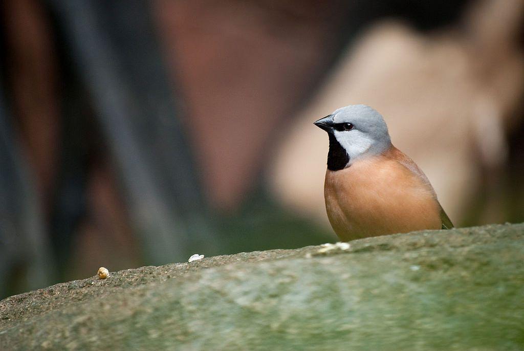 الحسون الراهب او الفينش اسود الحلق موضوع شامل حول هذا الطائر طيور العرب Hair Rollers Animals Finch