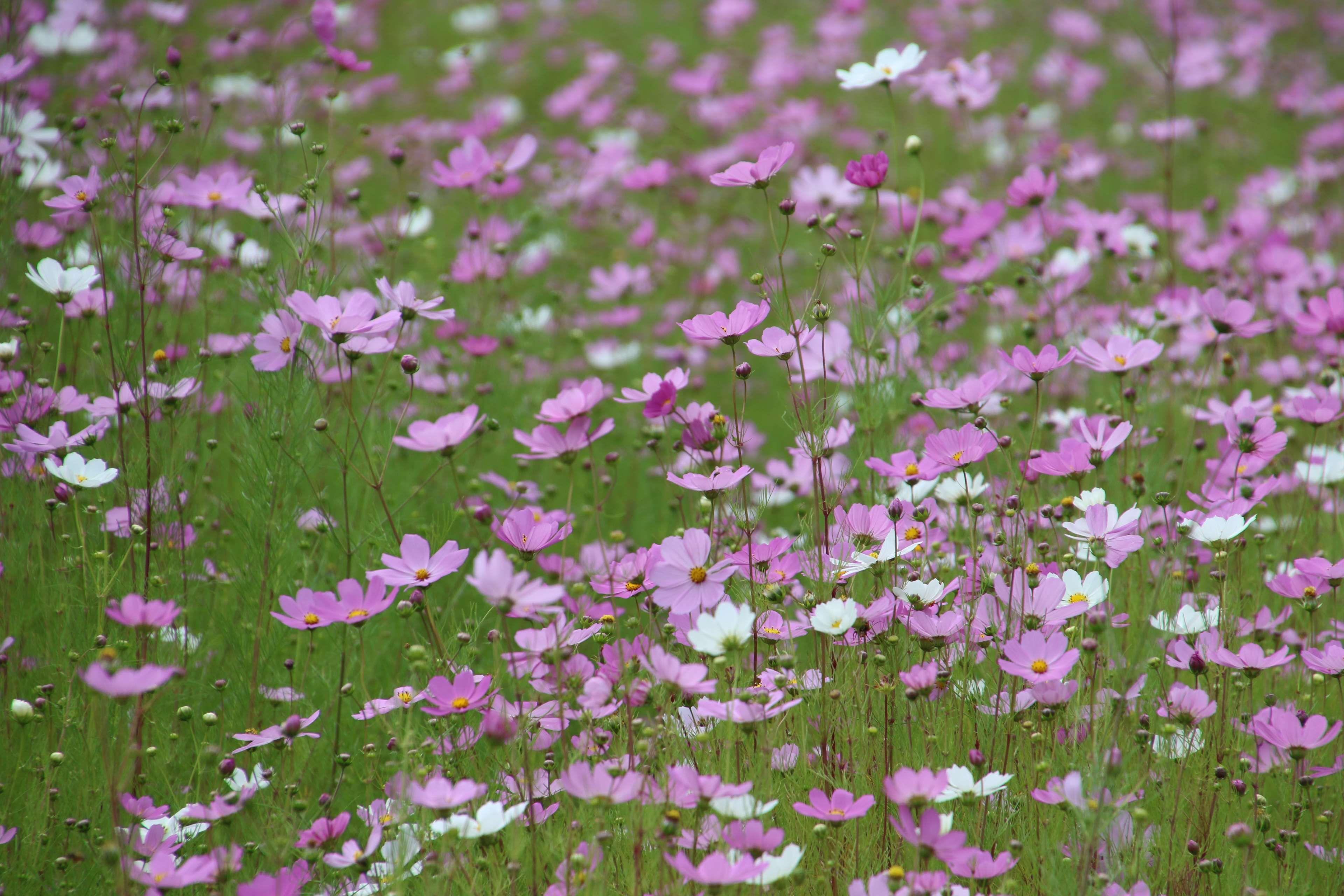 Background Field Field Of Flowers Flower Field Grass Green