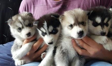 $350, Top Quality Registered POMSKY puppies for sale