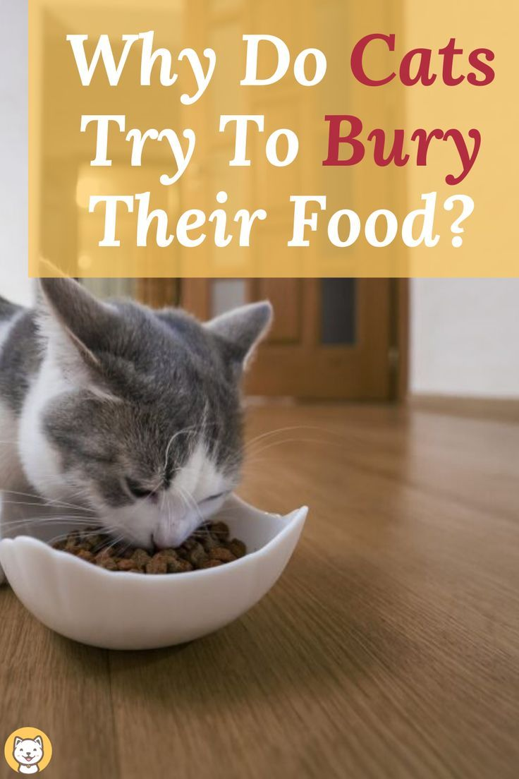 Why Do Cats Try To Bury Their Food In 2020 Cats Cat Behavior Kitten Care