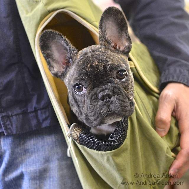 Tankthedognyc Arrived For Puppy Play Group In A Very Chic Satchel