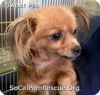 Studio City Ca Pomeranian Mix Meet Sweet Pea A Dog For Adoption W Southern California