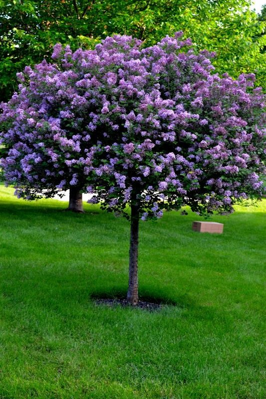 Lilac tree i just planted these to line both sides of our for Best dwarf trees for front yard