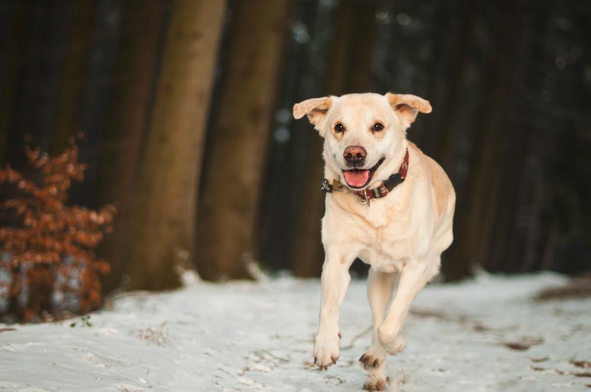 💚 Portrait of Dog - new photo at Avopix.com    🆗 https://avopix.com/photo/60746-portrait-of-dog    #retriever #dog #animal #pet #canine #avopix #free #photos #public #domain