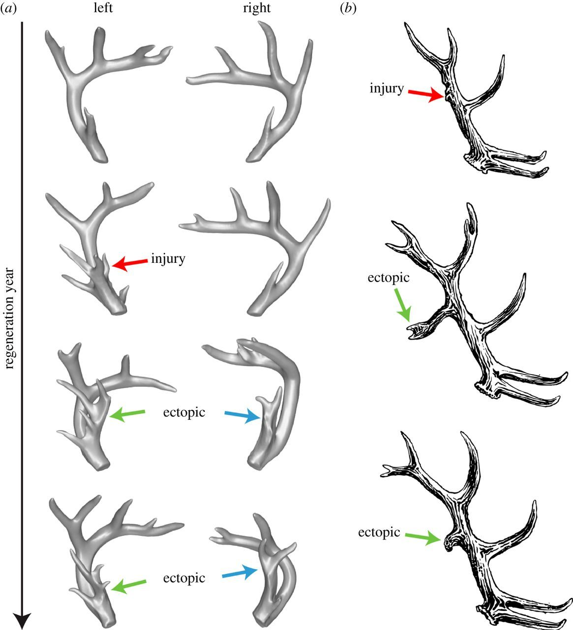 deer antler branching pattern