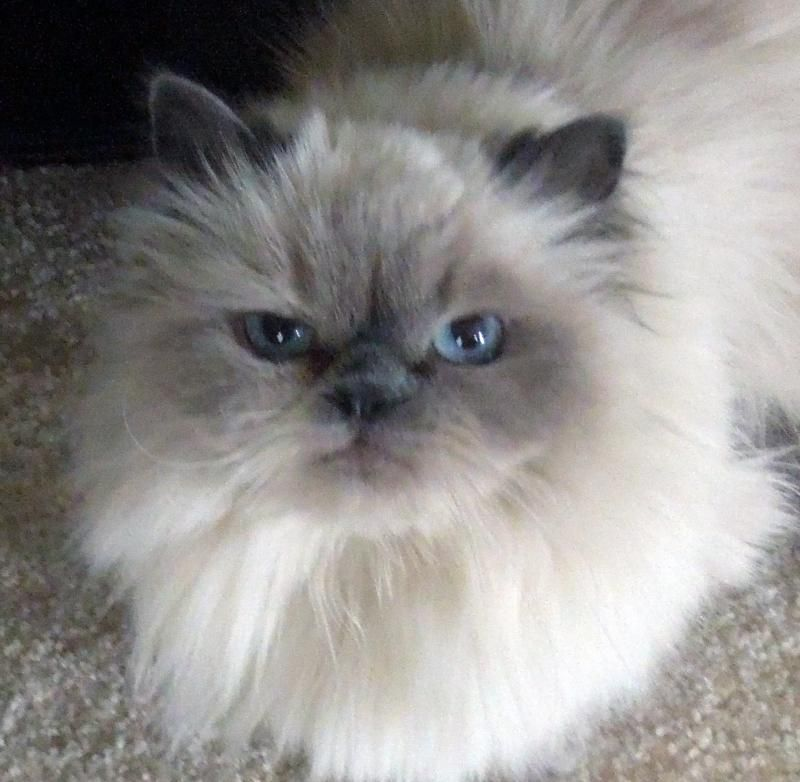 Adopt Lindsay On Himalayan Kitten Siamese Cats Blue Point