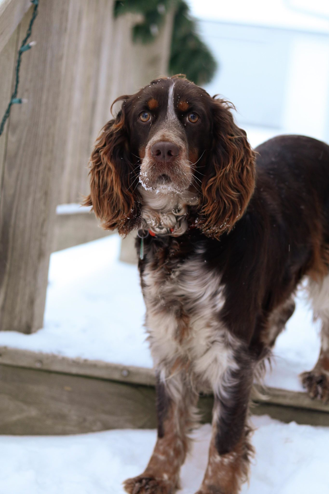 English Springer Spaniel Liver Tri Roan Working Springer Spaniel English Spaniel Spaniel Puppies