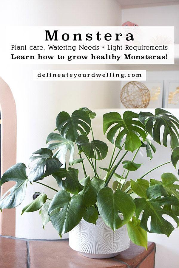 Monstera Plant Care