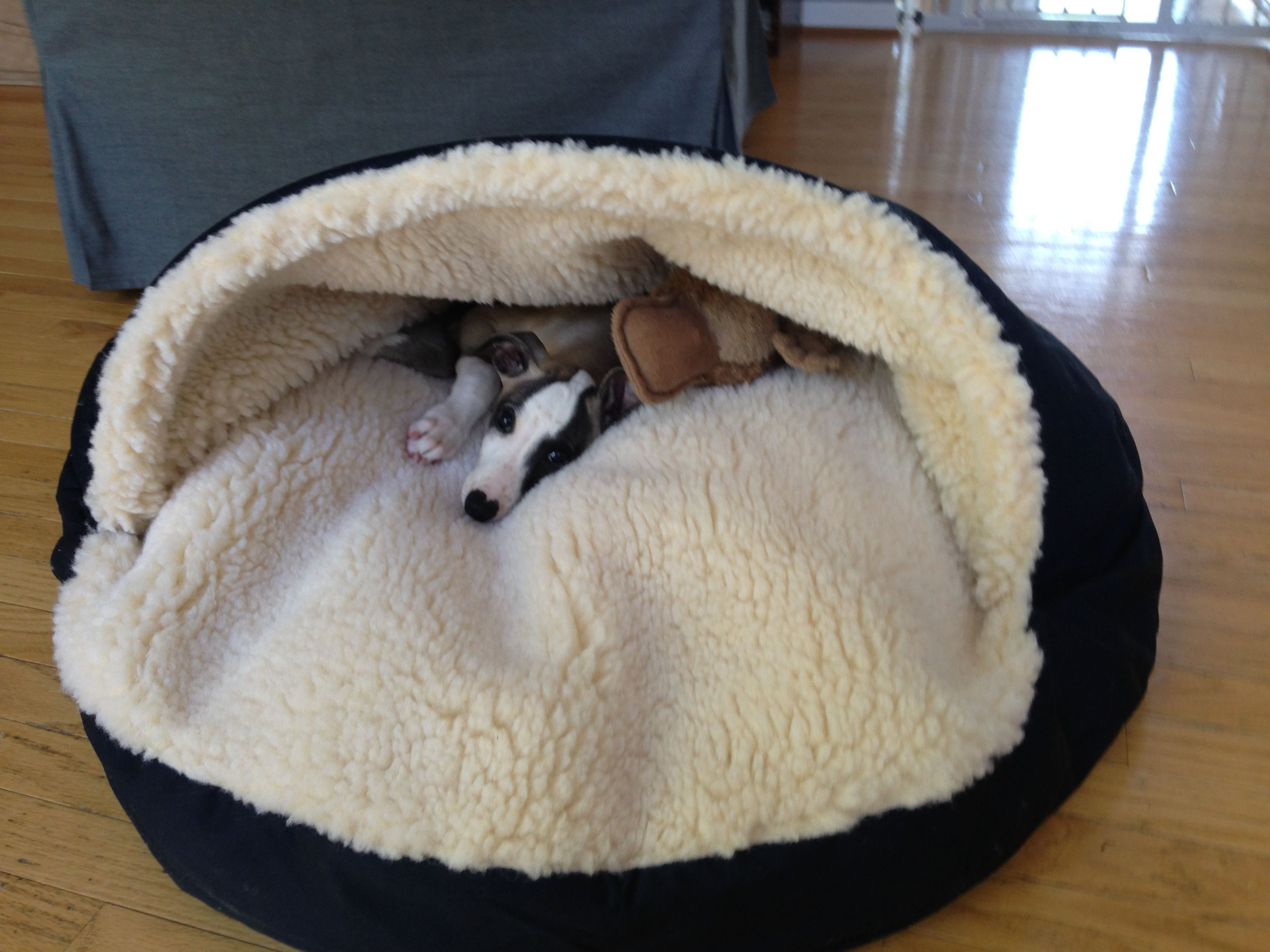 Avett The Whippet At 2 Months In His Cozy Cave Cuddly Animals Whippet Dog Behavior