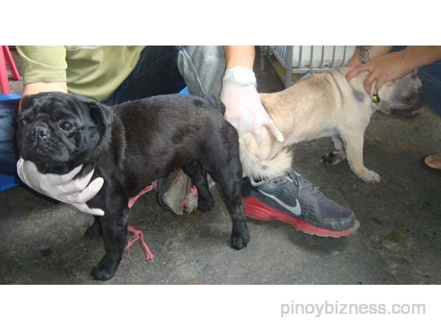 Short Compact Stud Black Pug 15 Red Marks Usa Lineage Quezon