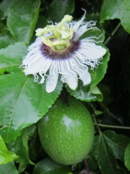 Sustainable Agriculture Examples Passion Fruit Farming Passion Fruit Sustainable Agriculture Flowers