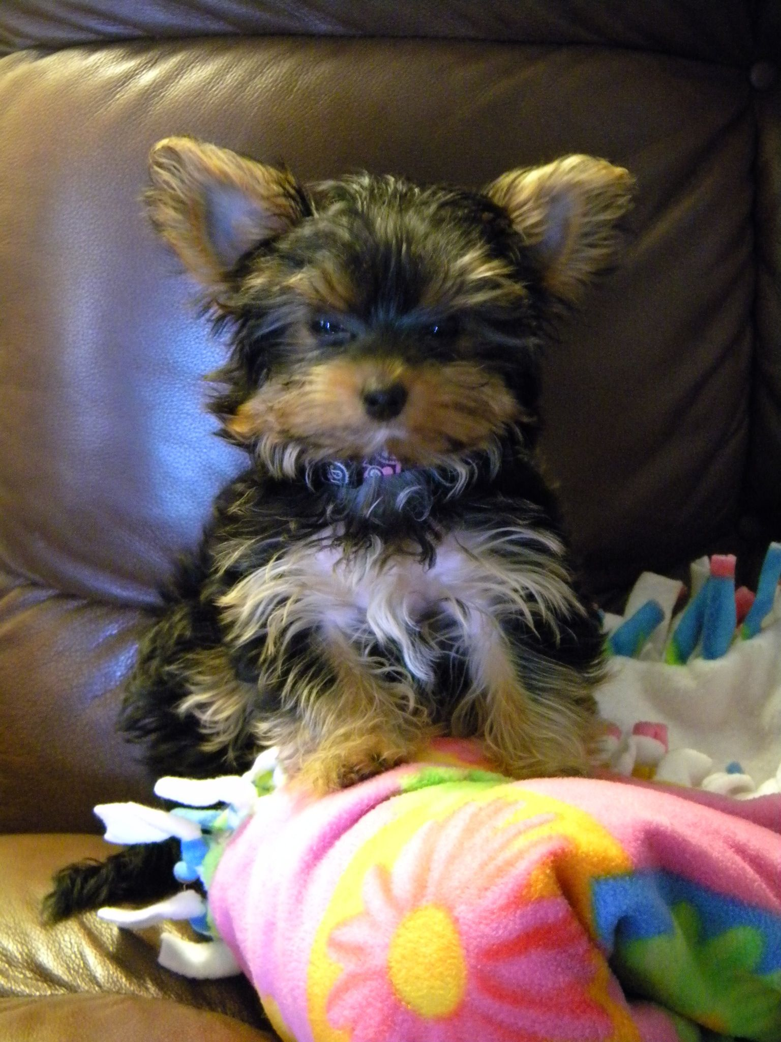 Pin By Virginia Crunick On Yorkshire Terrier Yorkshire Terrier Yorkie Dogs Yorkshire Terrier Puppies