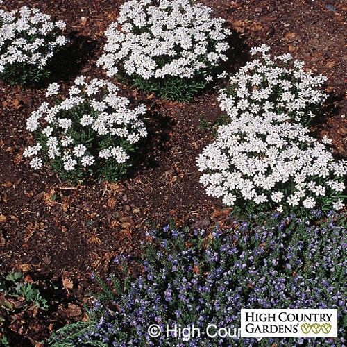 White Iberis Sempervirens Purity Iberis Sempervirens Purity Purity Dwarf Candytuft Perennial Plants Evergreen Groundcover Low Water Plants