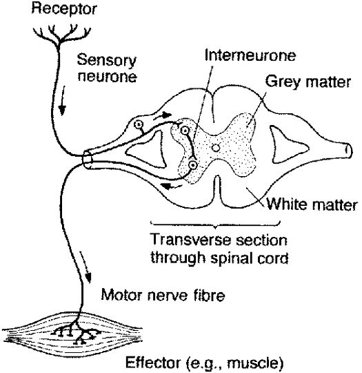 patellar reflex pathway