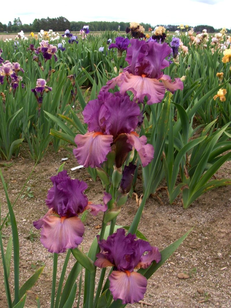 Dandy candy on taraperennialfarm iris for my garden tara perennial farm has a huge selection of bearded iris as well as most other perennials located in southern ontario address is 123 concession 6 tara izmirmasajfo