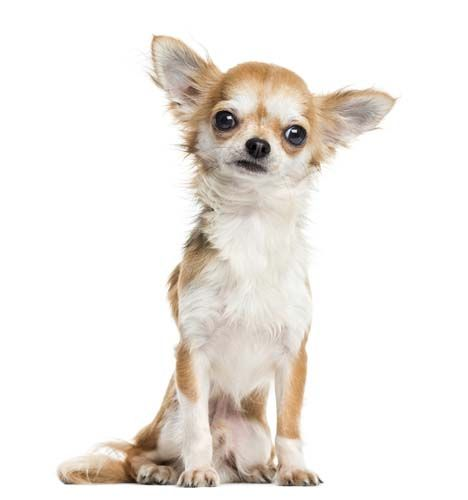 5 Common Dog Breed Stereotypes Debunked Chihuahua Breeds