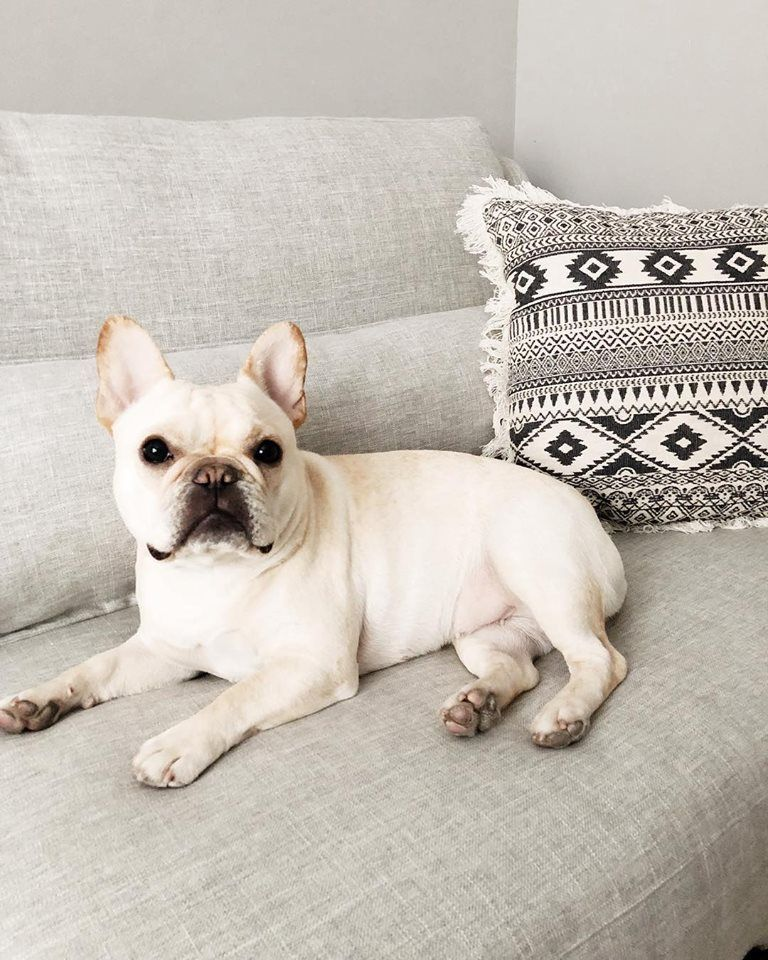 Cream French Bulldog With Target Throw Pillow And Gray Monte Sofa