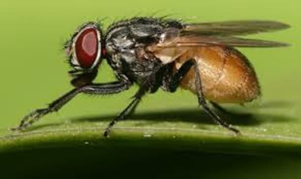 Home Remedies for Flies Removal | Home remedies for flies ...