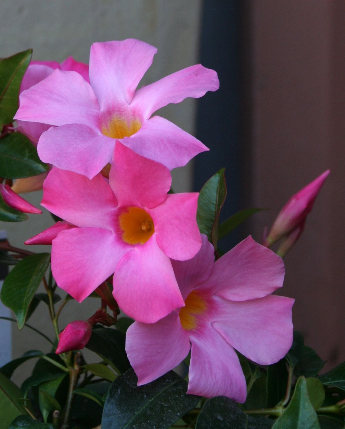 Growing Mandevilla Vine Indoors Caring For Mandevilla As A