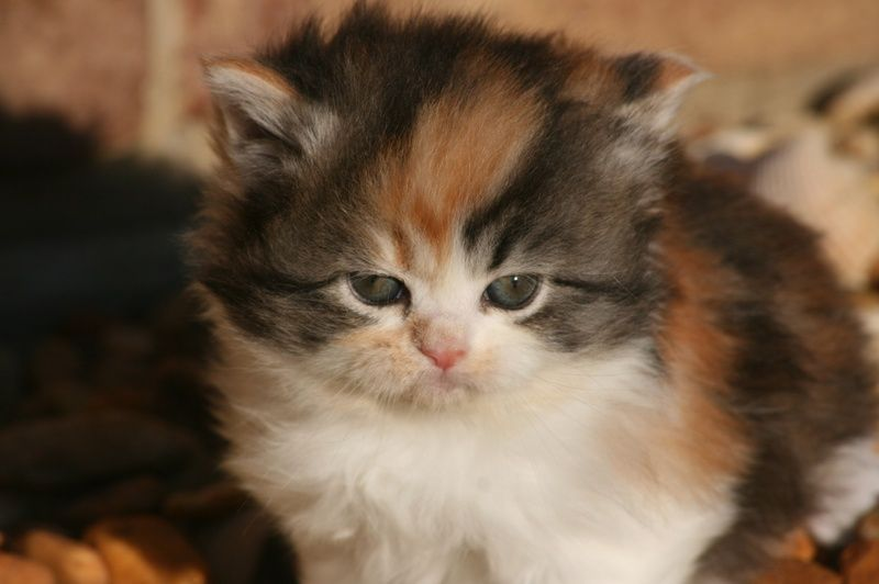 Purebred Kittens 4 Sale Bethlehem Carriage Company Cats And