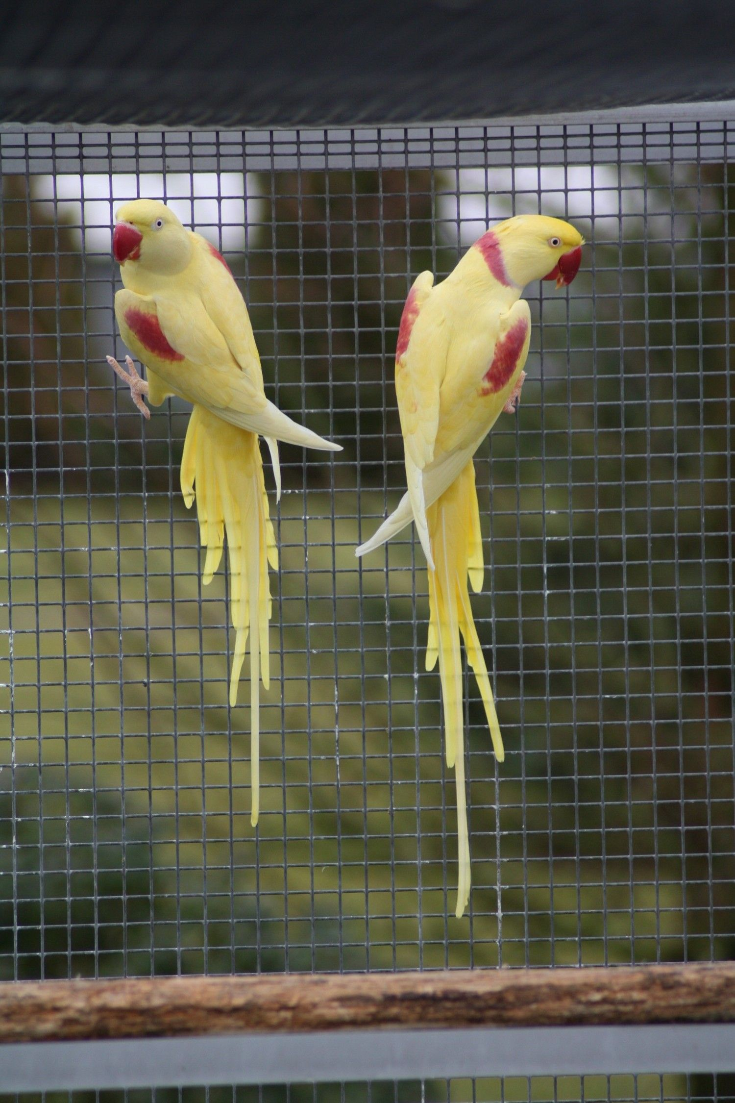 Pakistani Ringneck Parrot    Follow me here