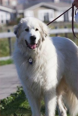 Great Pyrenees Origin France Spain Colors White With Markings