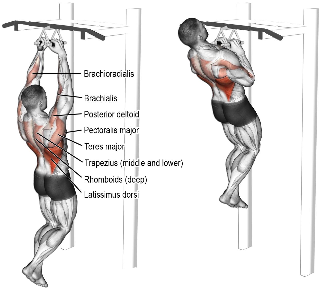Comment effectuer traction prise neutre dos for Elastique musculation
