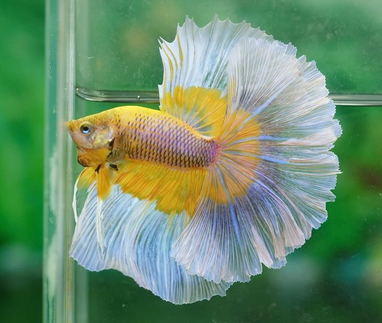 Huge mustard gas butterfly | Fancy bettas | Pinterest ...