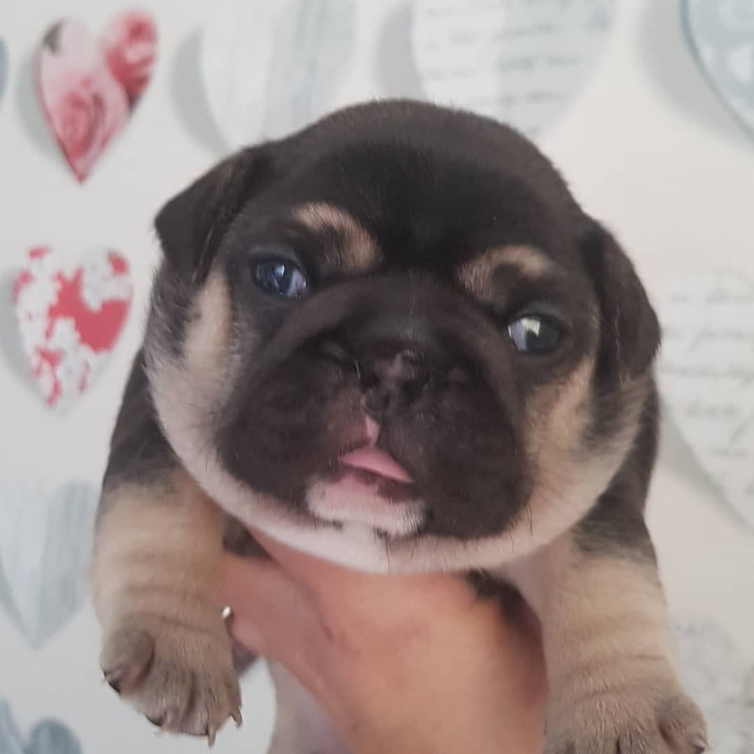 Chocolate And Tan Girl 3 Weeks Old Dm For Info