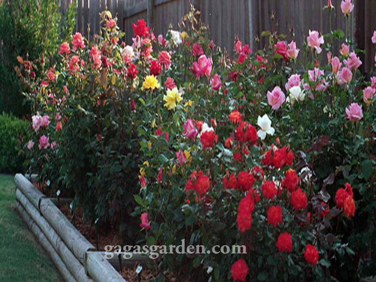 Backyard rose garden - Back Yard Rose Garden Cdxnd Com Home Design In Pictures
