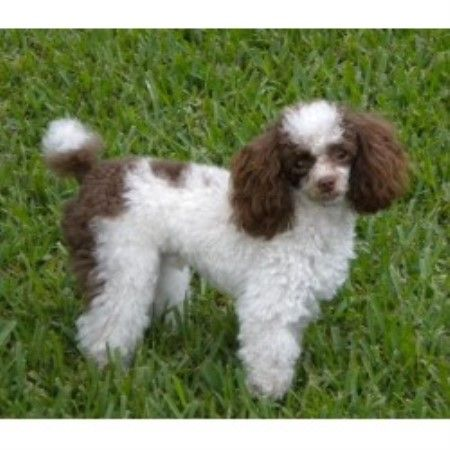 Parti Toy Poodle Pictures Yahoo Search Results Parti Poodle