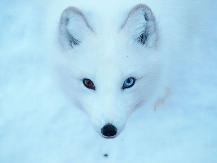 Chien Blanc Neige Yeux Jpg 700 525 Animaux Renard Animal De Compagnie Animaux Mignons