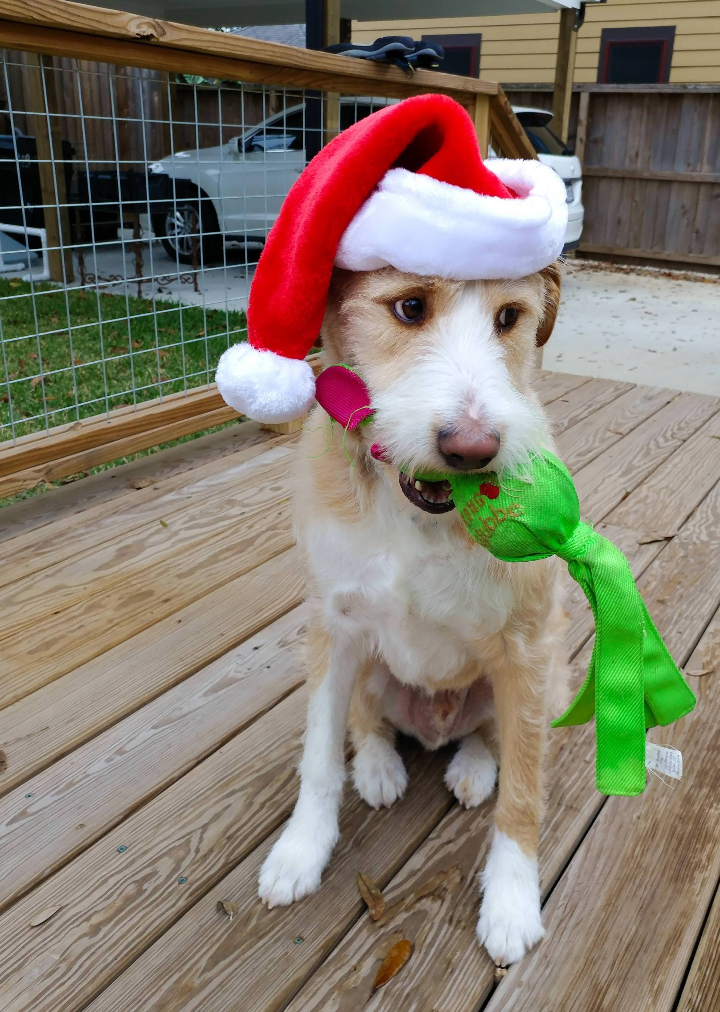 I don't think my dog was impressed with the Santa hat #dogs #pets #dog #Adopt #love #cute #animals #puppy