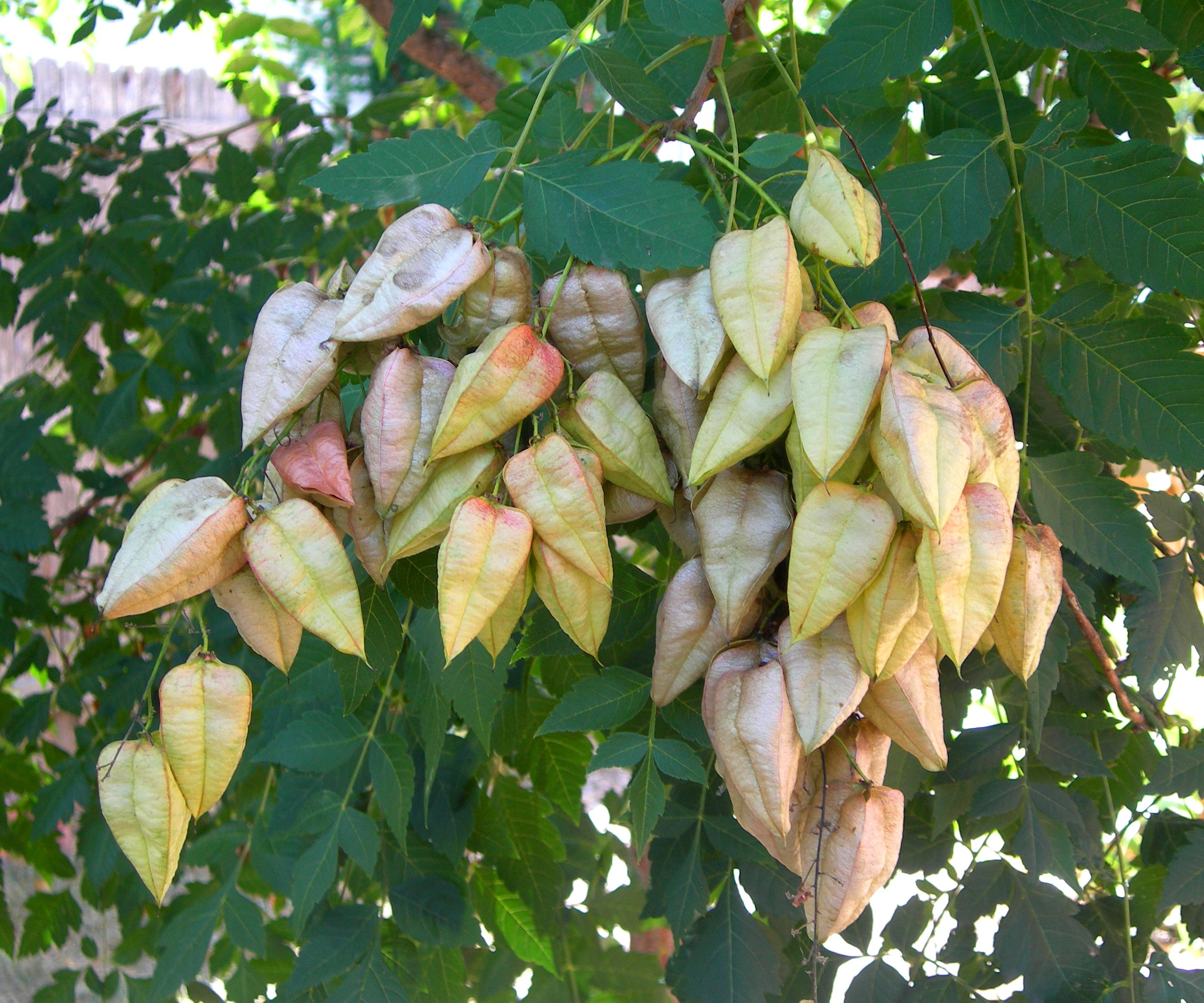 Golden Rain Tree Seed Pods Jpg 2644 2204 Golden Rain Tree Seed Pods Deciduous Trees