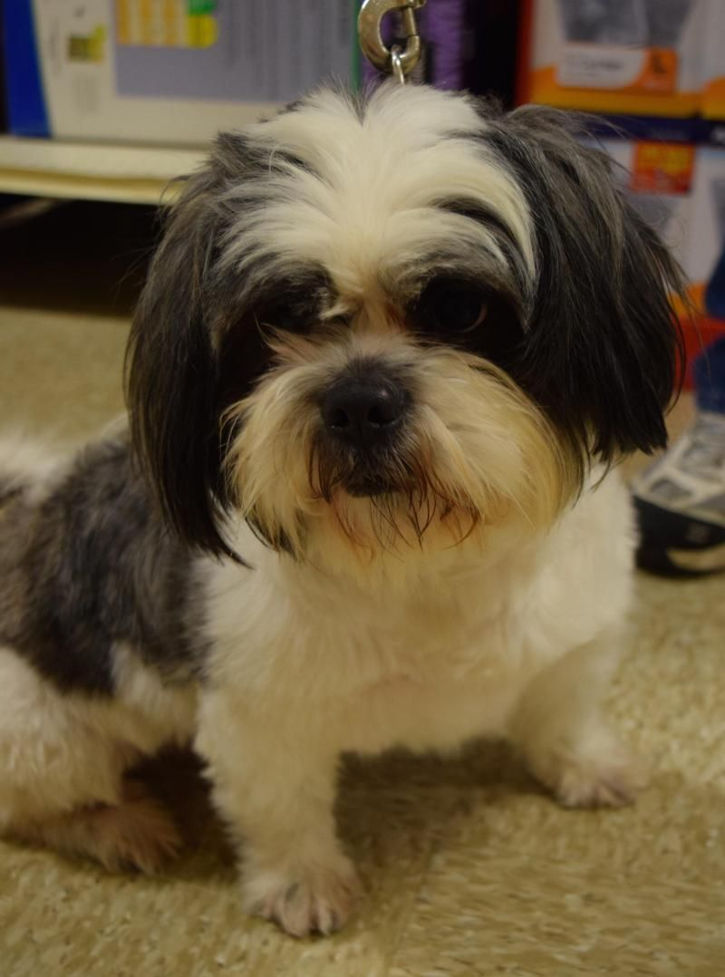 Adopt on (With images) Pets, Fur babies, Shih tzu