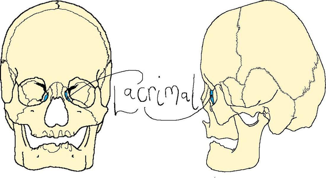Lacrimal Bone Anatomy Image collections - human anatomy diagram organs