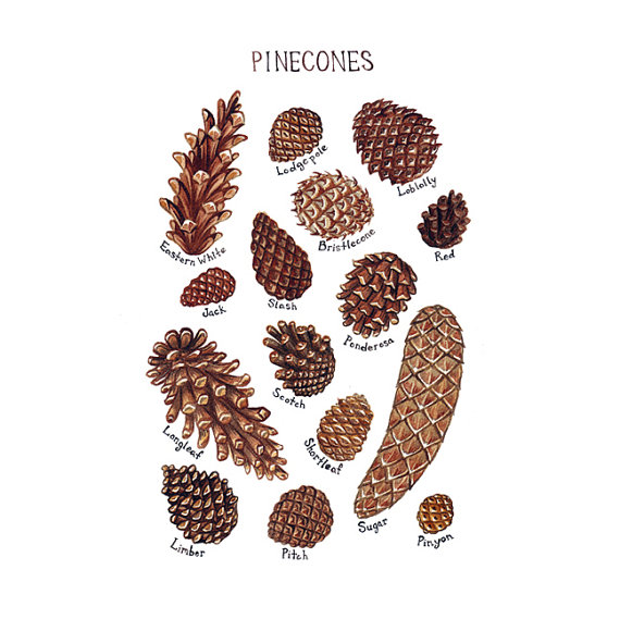 Pine Cones Field Guide Art Print / Watercolor Painting / Wall Art ...