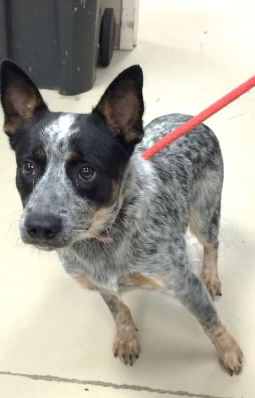 Sweet Pea Is An Adoptable Australian Cattle Dog Blue Heeler Dog In Decatur Al Sweet Pea Is A Black Blue Heeler Dogs Cattle Dogs Rule Austrailian Cattle Dog