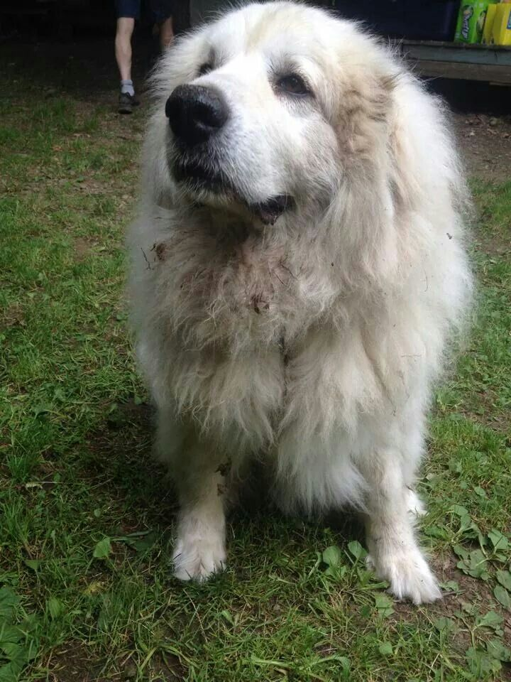 Great Pyrenees Mountain Dog Big Fluffy Dogs Great Pyrenees Top