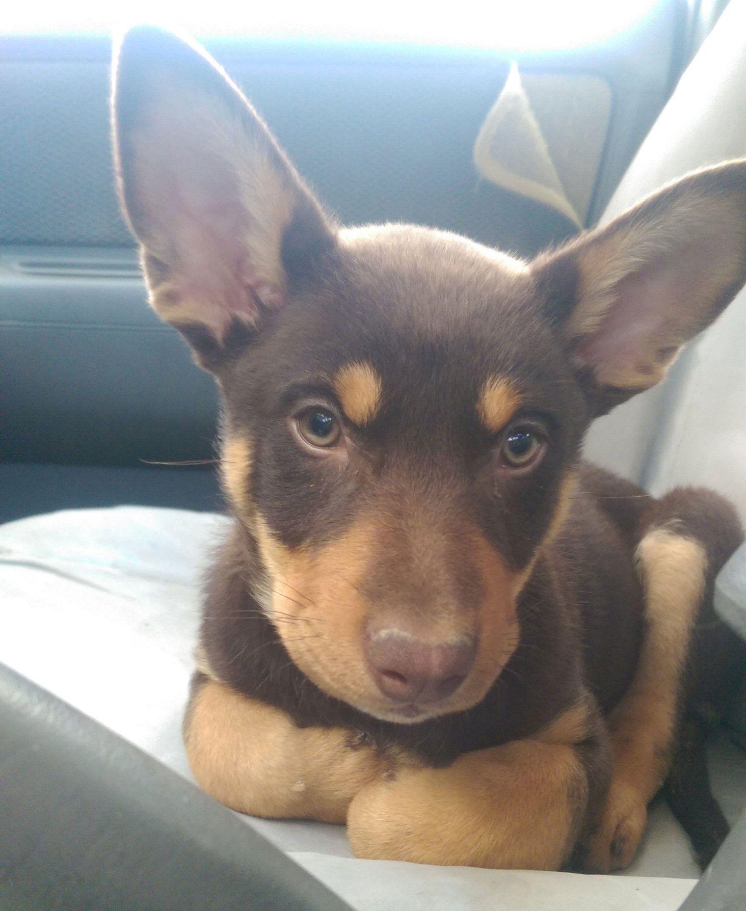 Australian Kelpie Charli 9 Weeks Old Australian Kelpie Dog Australian Dog Breeds Australian Kelpie